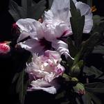 Flor d'arbust
