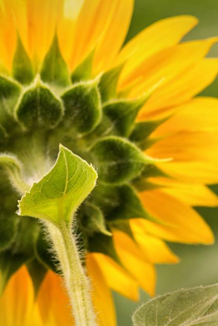 Back of Sunflower 3-0 F LR 7-20-20 J039