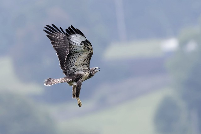 Common Buzzard,juvenile