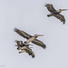 Group of Brown Pelicans in Flight- one adult and three Juvi's