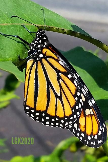 Monarch newly emerged from chrysalis
