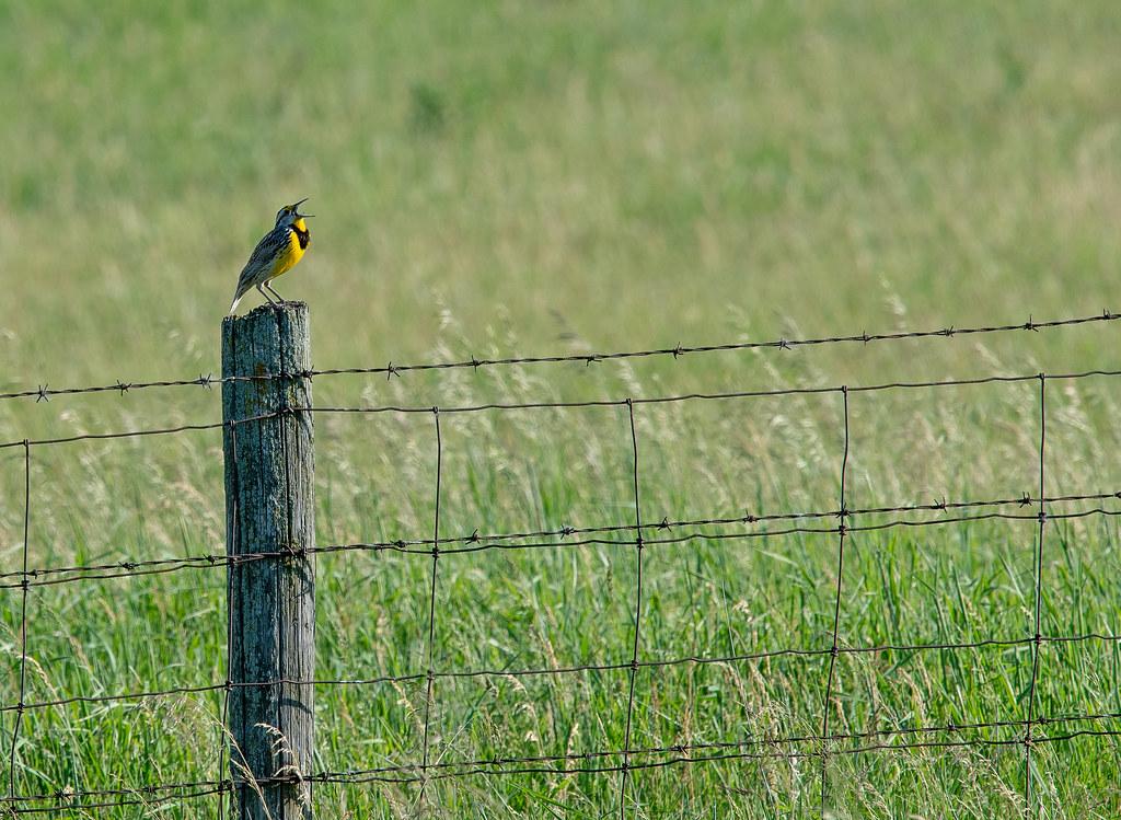Eastern Meadowlark -- Sturnella magna