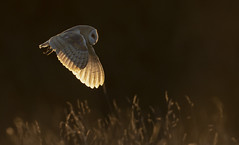 Barn Owl sunset