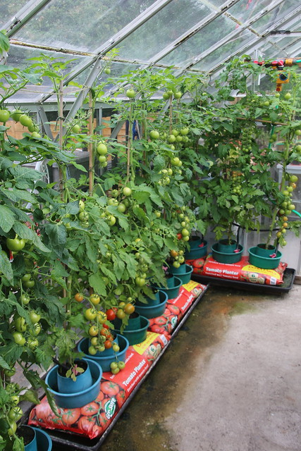 Summer Crop in the Greenhouse, Hillview, UK.