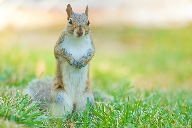 Alert Eastern Gray Squirrel