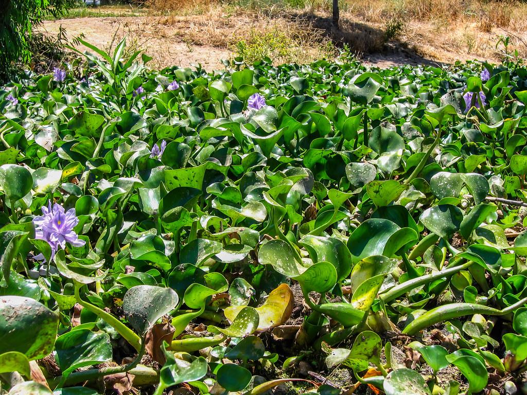 Water Hyacinth 2005 06 26 08