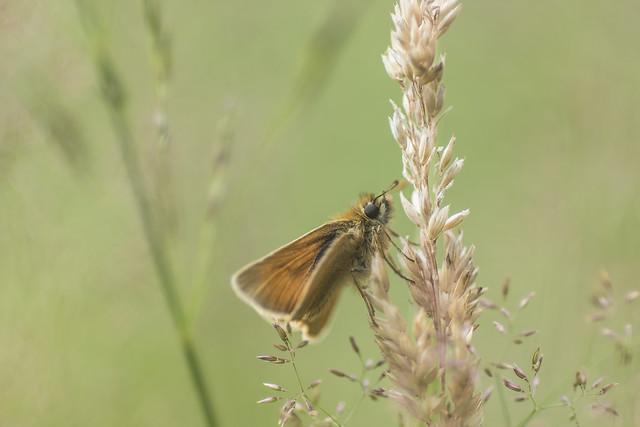 Soft Seed Skipper