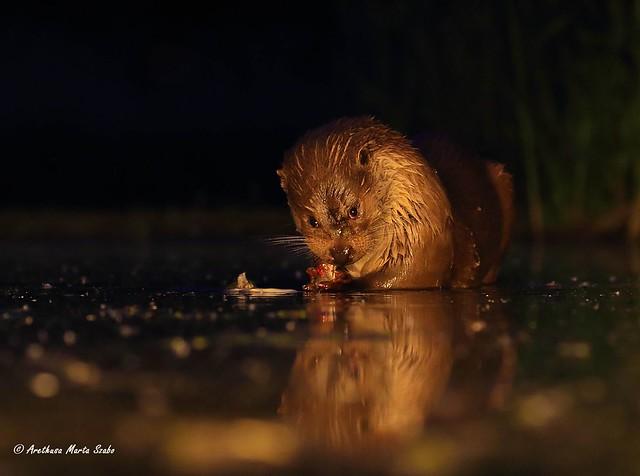 A very greedy otter :)  Eurasian otter (Lutra lutra), Európai vidra  - H ευρωπαϊκή ενυδρίδα