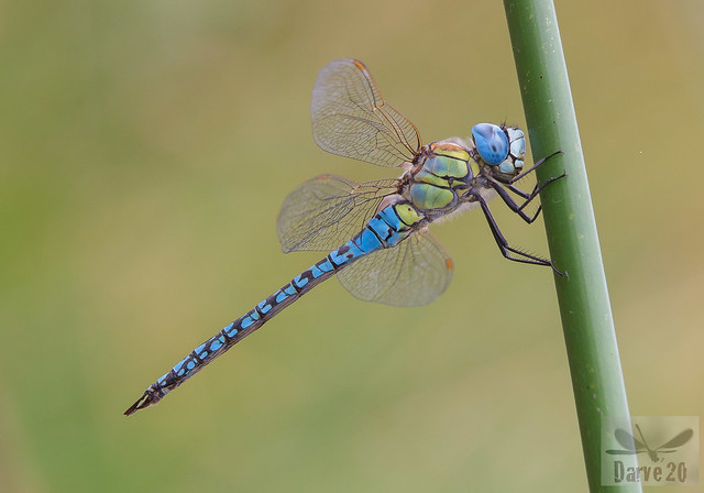 Southern Migrant Hawker - Aeshna affinis