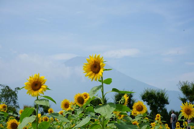 Mt.Fuji and Sunflower field