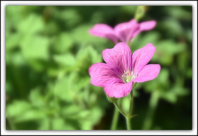 Flower Of The Day Geranium