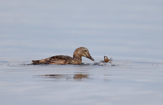 Female King Eider with a crab