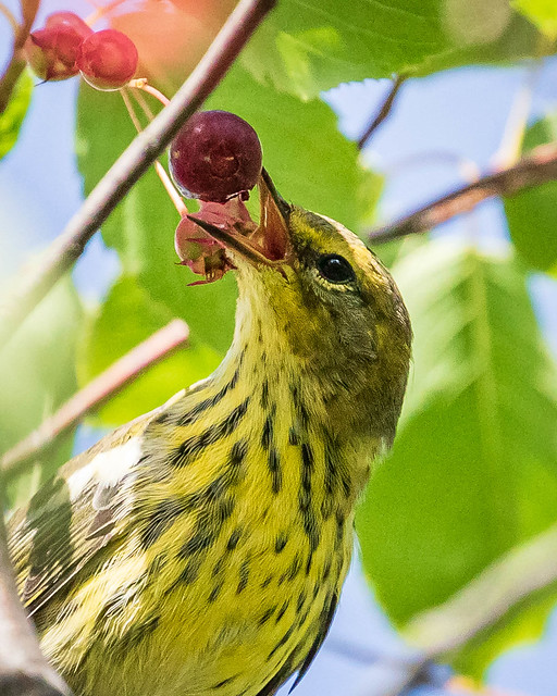 Cape May Warbler picking berries,