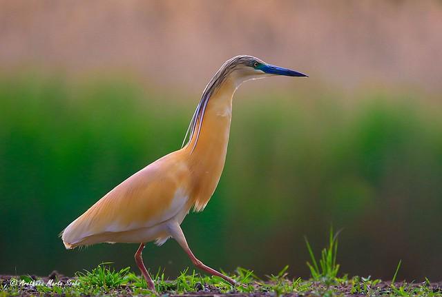 The lovely Squacco heron (Ardeola ralloides ) -A csodálatos Üstökösgém, Κρυπτοτσικνιάς