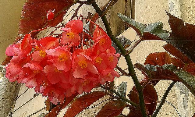 Begonias en Kotor
