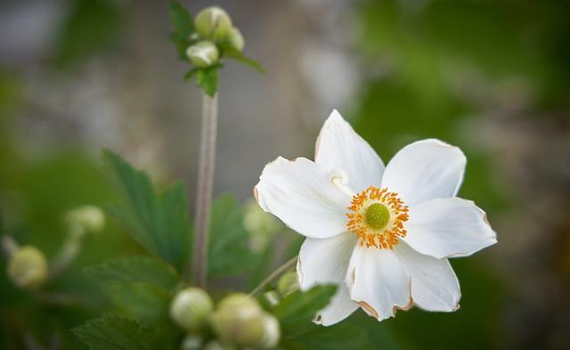 Weiße Anemone