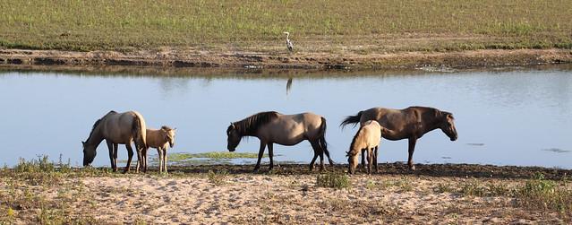 konik-horses