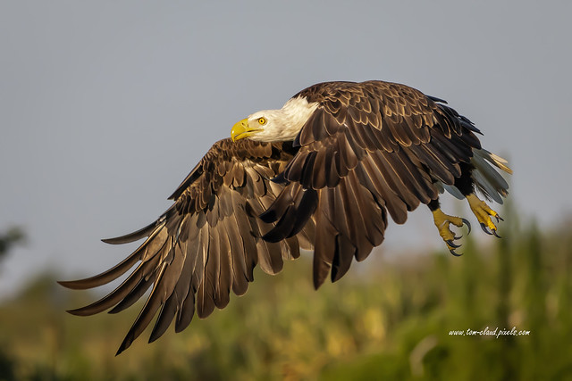Eagle Flying Low