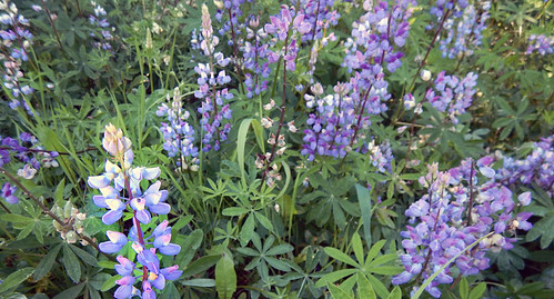 Blue Lupins up at Glimpse Lake, Canada