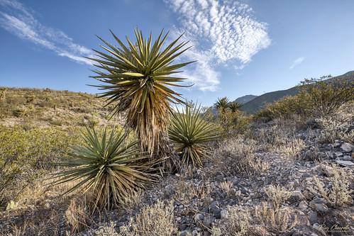yucca schaeffershuffletrail franklinmountainsstatepark elpaso texas desert southwest landscape hiking sonya7riii canonef1635mmf4lisusm sigmamc11