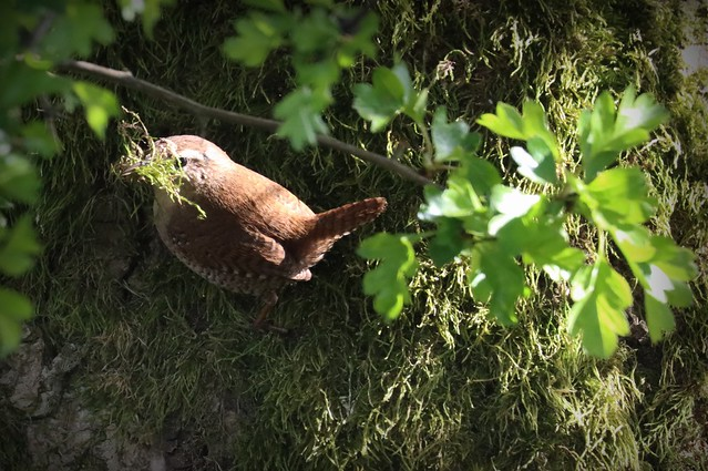 Wren gathering moss for it's nest
