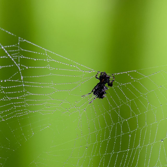 spider in droplet web