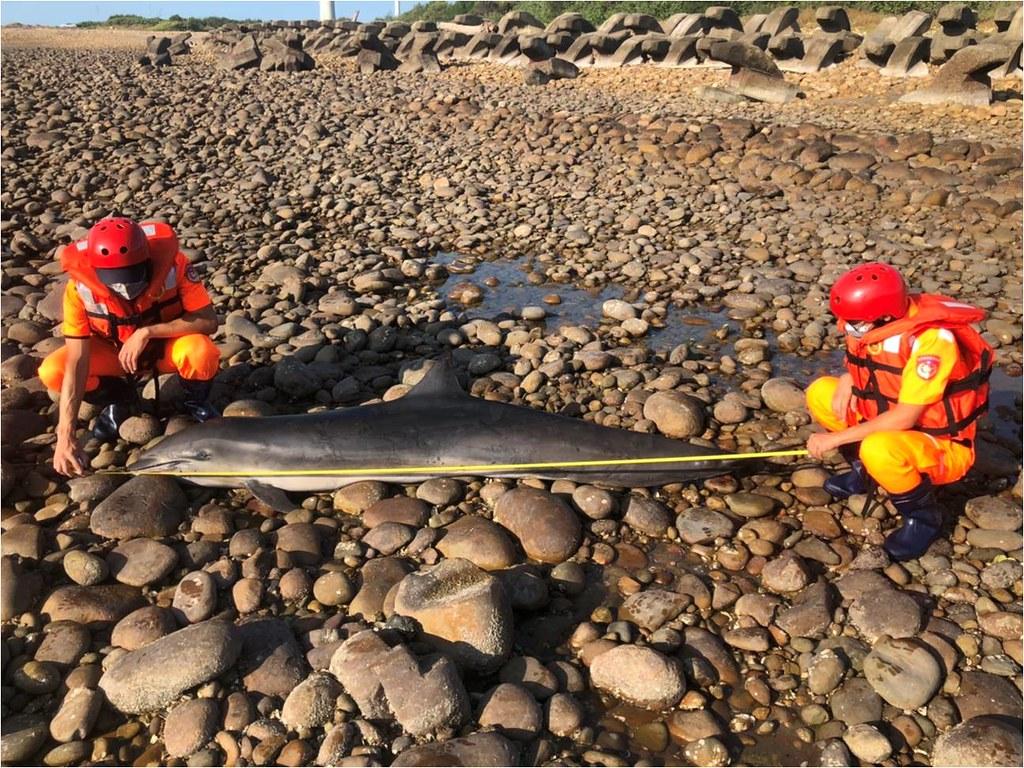 苗栗海域驚見東部弗氏海豚。圖片提供:海巡署。