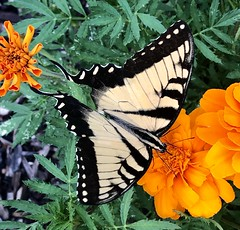 Butterfly on a marigold