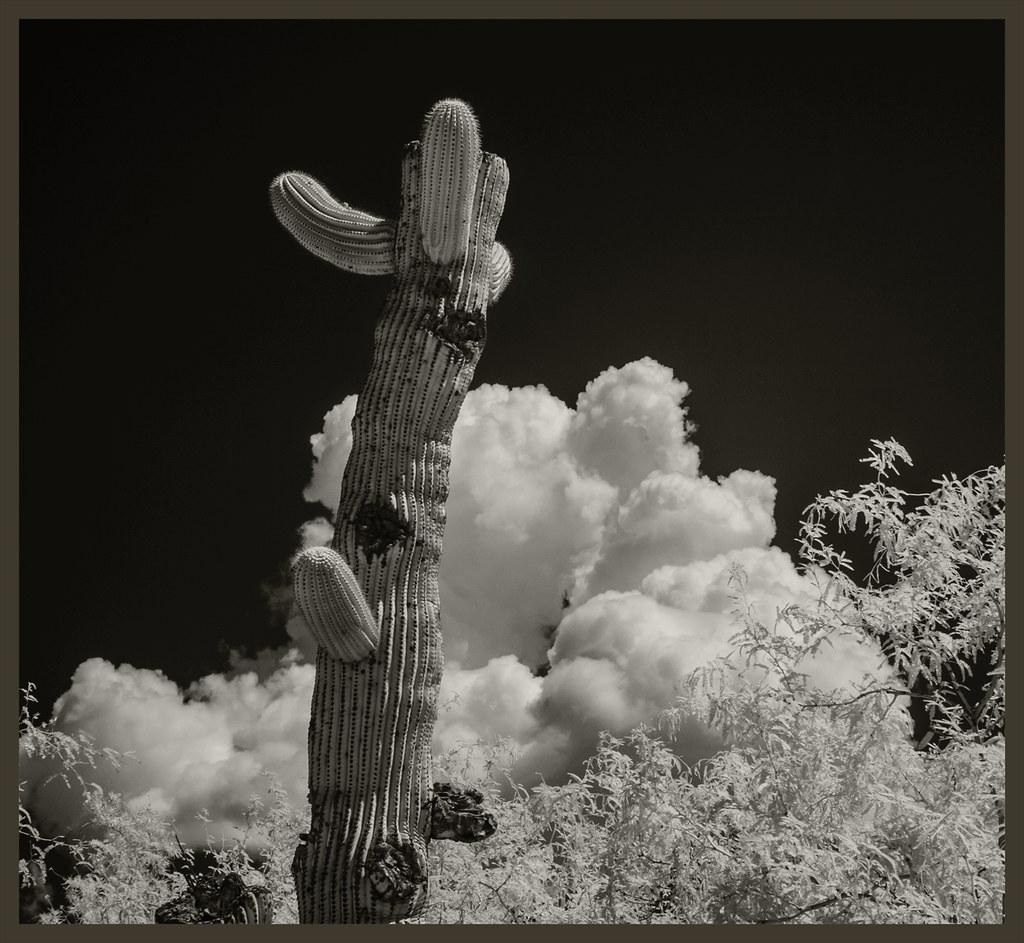 Cacti #32 2020; Damaged Saguaro