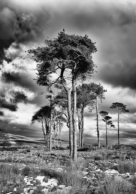 Majestic Scots pine