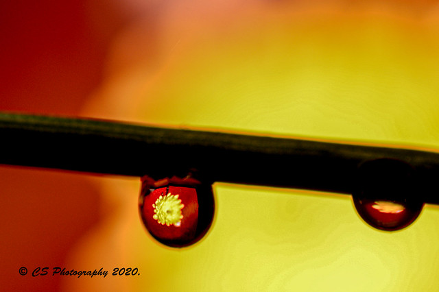 Chrysanthemum Refaction -  DSC_2725