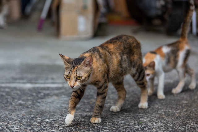Cat Marching 旦暮常相隨