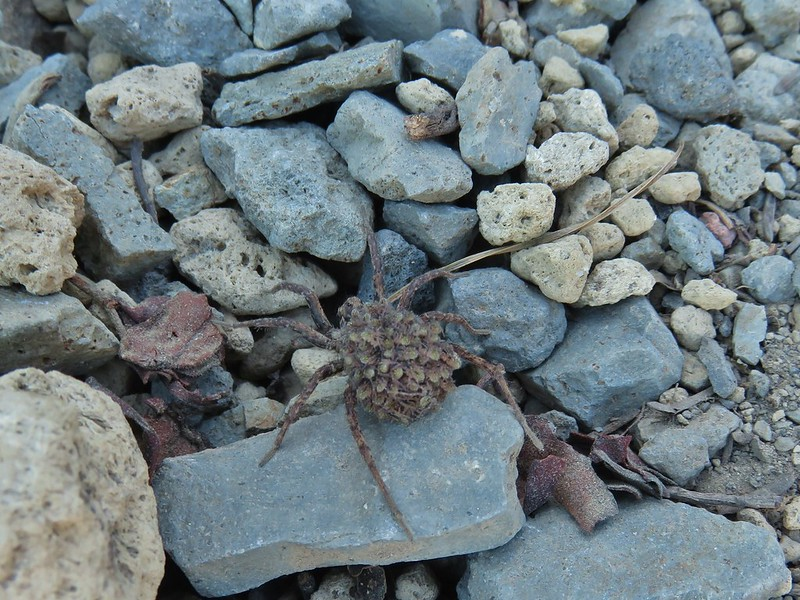 Wolf spider and babies