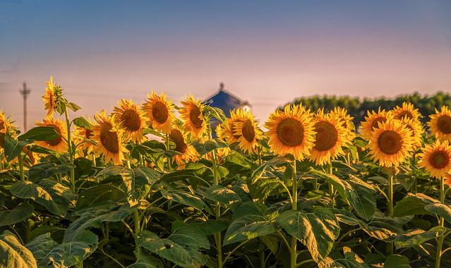 Iowa Sunflower Farm Sunset