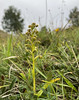Frog Orchid IMG_1510