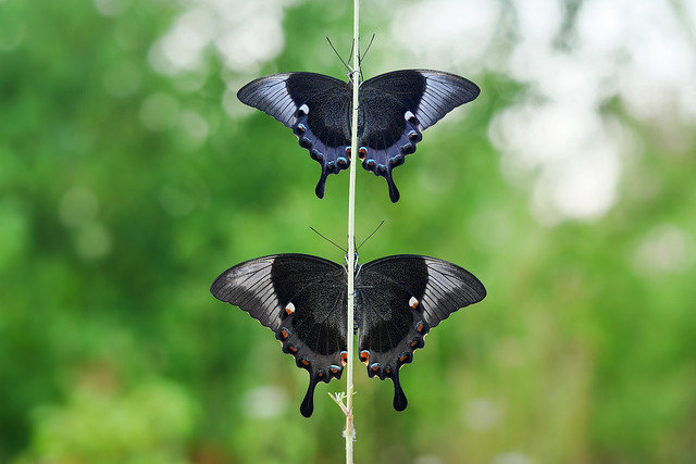 The emerald swallowtail / male and female