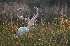 White Buck in Long Grass