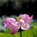 Lotus flower #11