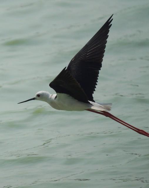 Black-winged Stilt, Himantopus himantopus, Ходулочник