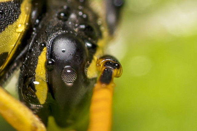 Eye of a wet wasp
