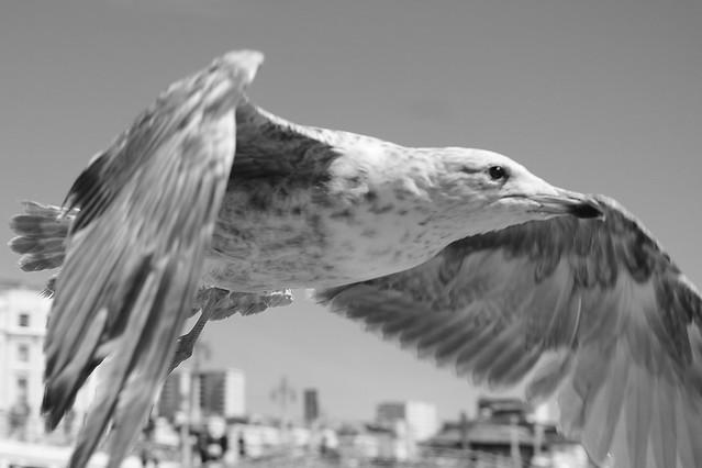 Seagull flying over Brighton Promenade....