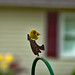 American Goldfinch pays us a vist