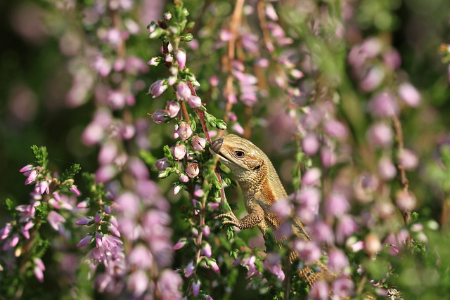 Lovely weather for basking amongst the heather.