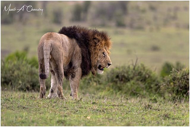 World Lion Day 2020!