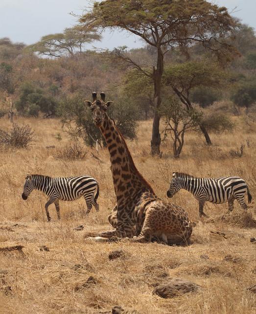 Plains zebras and Masai giraffe, Ndarakwai Ranch, Tanzania