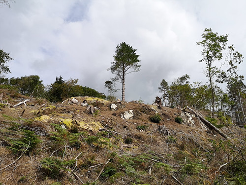 Clearing conifers