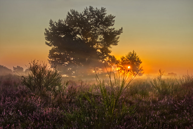 Golden Heather Morning • Goldener Heidemorgen