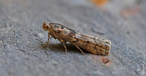 1467 Ancylosis oblitella