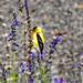 2020-Bird011-Dig American Goldfinch feeding on the Saliva cup