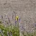 2020-Bird009-Dig American Goldfinch on the Saliva